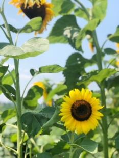 Sunflower love!