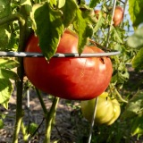 Tomato nearly ready